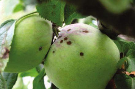 Струпясване по ябълка