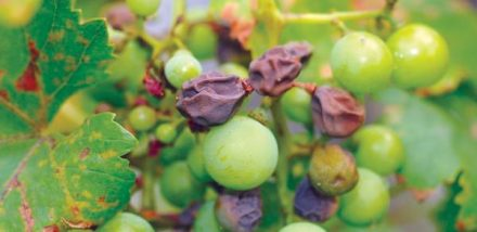 Чорна гниль на винограді